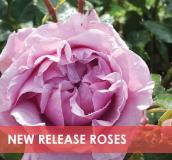 roses-categories-new-release-v2.jpg